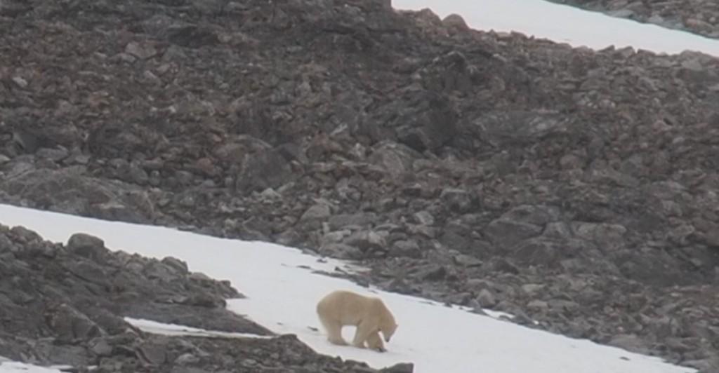 Vår första isbjörn
